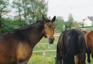 DERA CROC Premium KAROTTE für das Pferd: